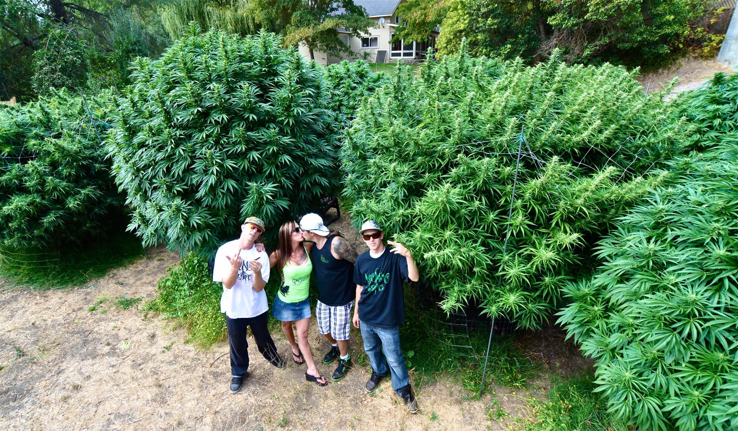 marijuana bushes