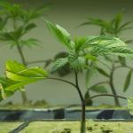Marijuana Cloning Gels, Rooting Hormones & Your Marijuana Cloning Success