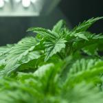 Surefire Strategies For Stronger Marijuana Seedlings & Clones