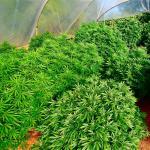 Dankest Marijuana Strains For Outdoor Marijuana Growing