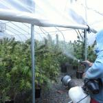 Beating Pests & Diseases in Your Marijuana Garden