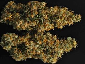 Hydroponics Marijuana Grow Guide