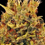 Chocolate Medical Marijuana from High Times Cannabis Cup Winners