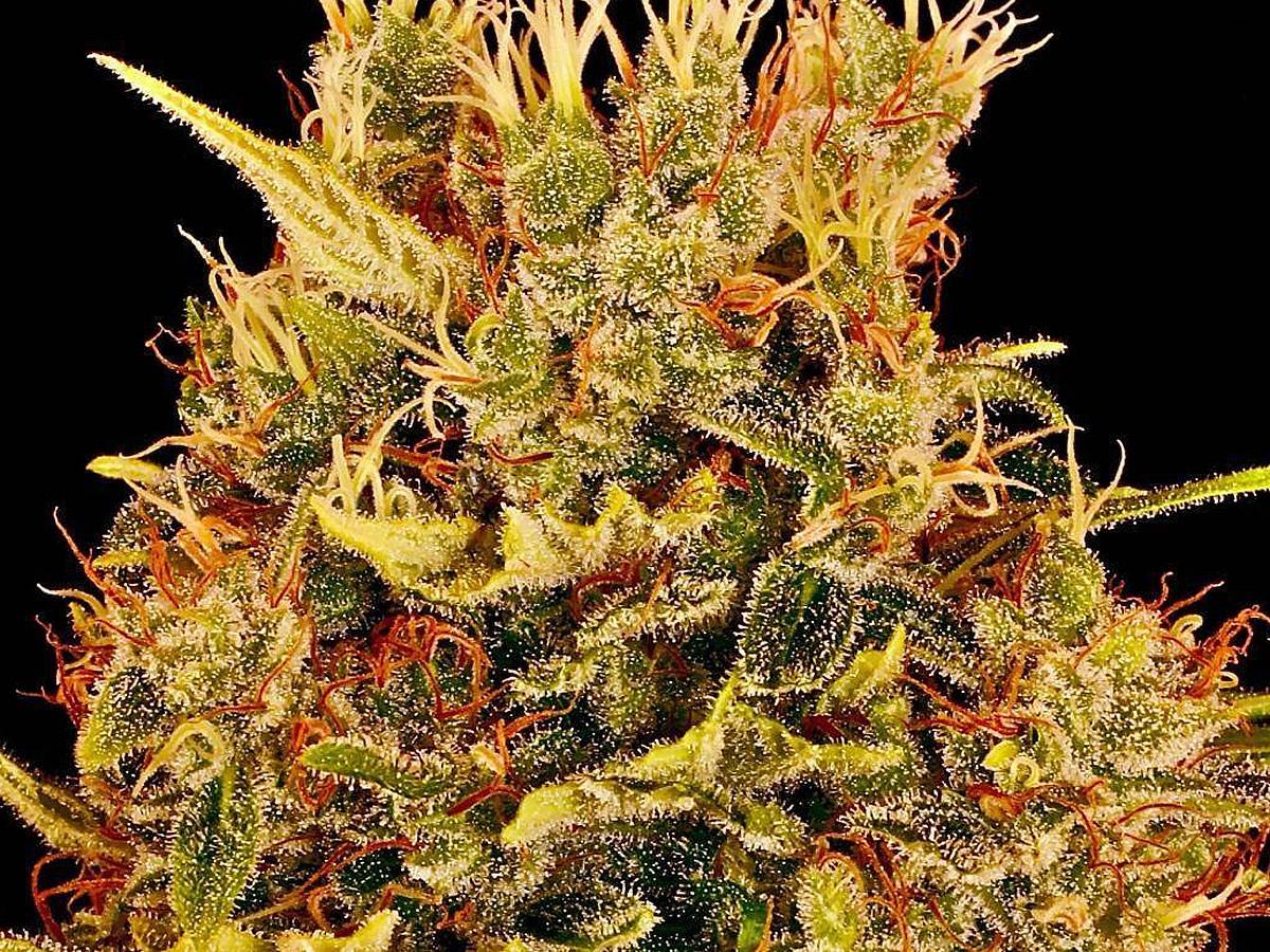 casey jones weed