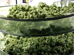 marijuana drying & curing