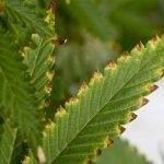 Fixing Marijuana Nutrients Deficiencies & Fertilizer Burn: Part Two