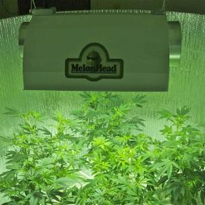 Beginner Marijuana Grower Series