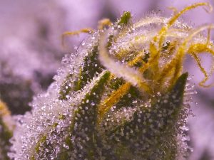Kush marijuana