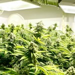 "Marijuana Growers Getting Bigger Buds From ""Growers Underground"" Website"