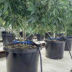 Compost Tea Supercharges Marijuana Roots