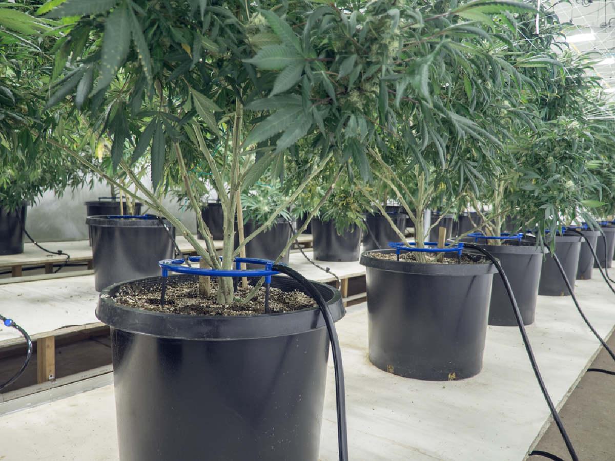 marijuana roots
