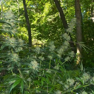 Outdoor Marijuana Growing
