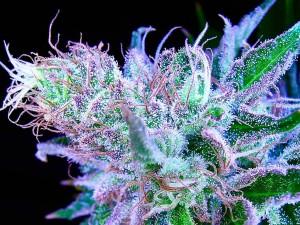 Marijuana Resin Glands