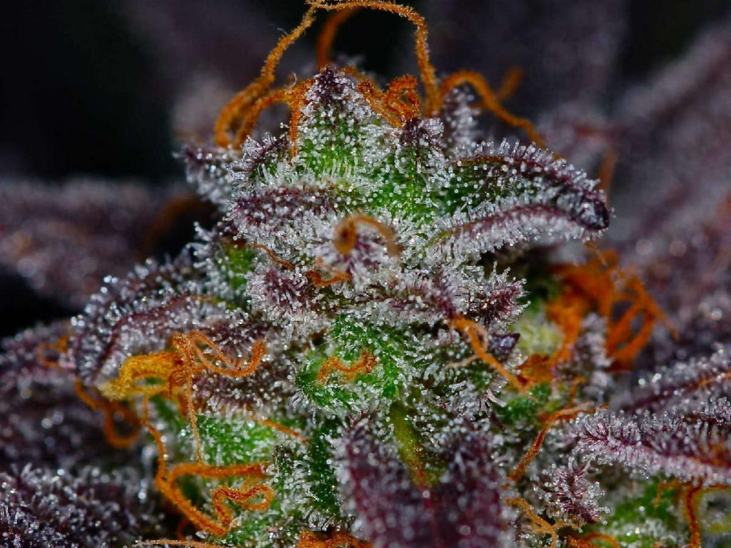 purple marijuana strains