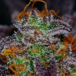 Grow These Delicious Purple Marijuana Strains