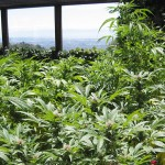 Is Organic Marijuana Tastier & Healthier?