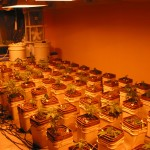 Expert Marijuana Grower Advice: Strategies for Clones