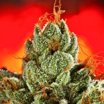 Top 3 Reasons to Use Cannabis Nutrients Instead of Generic Hydroponics Nutrients