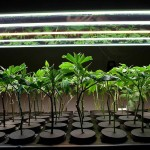 "Is Growing Marijuana From Seed ""Better"" than Growing Marijuana Clones?"