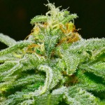 5 Top Marijuana Strains You'll Love to Grow