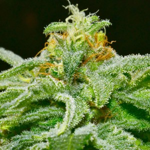 cannabis bud close up