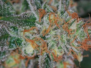 Jilly Bean Marijuana Strains
