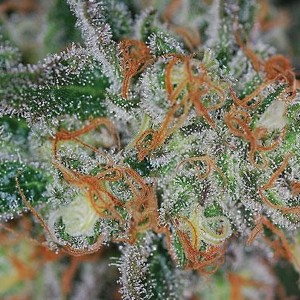 Jilly Bean Marijuana Strains