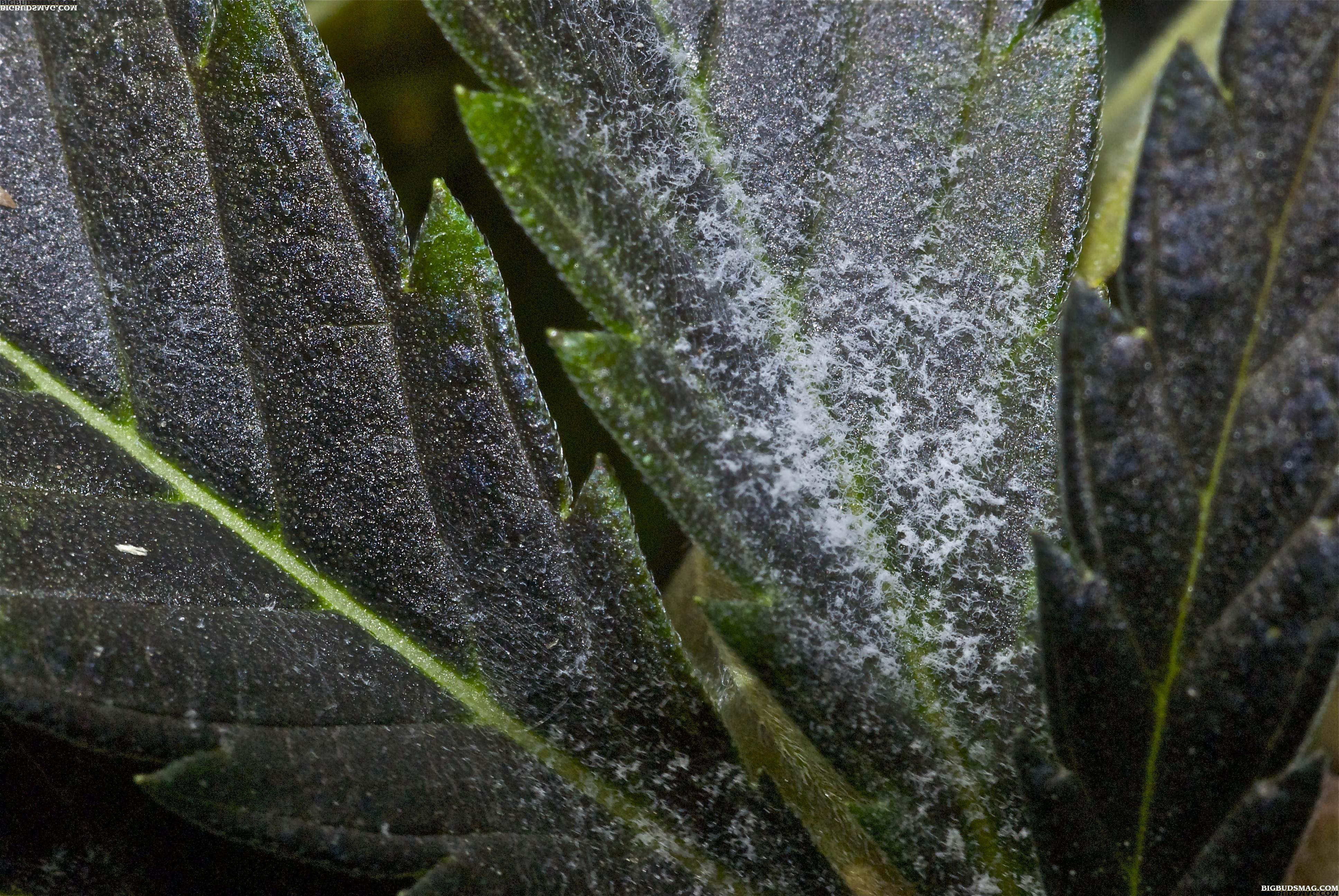 how to kill powdery mildew