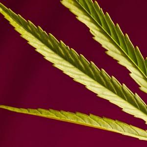 Sativa Leaf