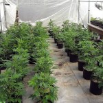 Marijuana Transplanting: Make it Safe & Effective for Higher Yields