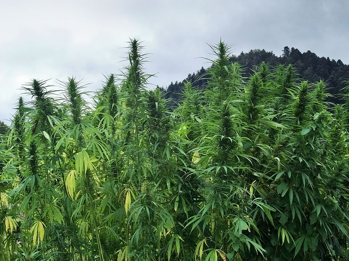 Outdoor Cannabis Marijuana
