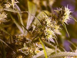 Marijuana Sativa Indica