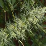Marijuana Strain Review:<br />Sonic Screwdriver from TGA & Subcool