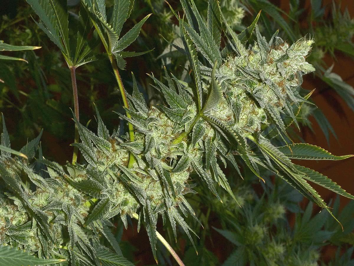 Marijuana Subcool TGA