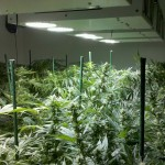 Chameleon Plasma Grow Lights Increase Potency & Yield for Your Marijuana Plants
