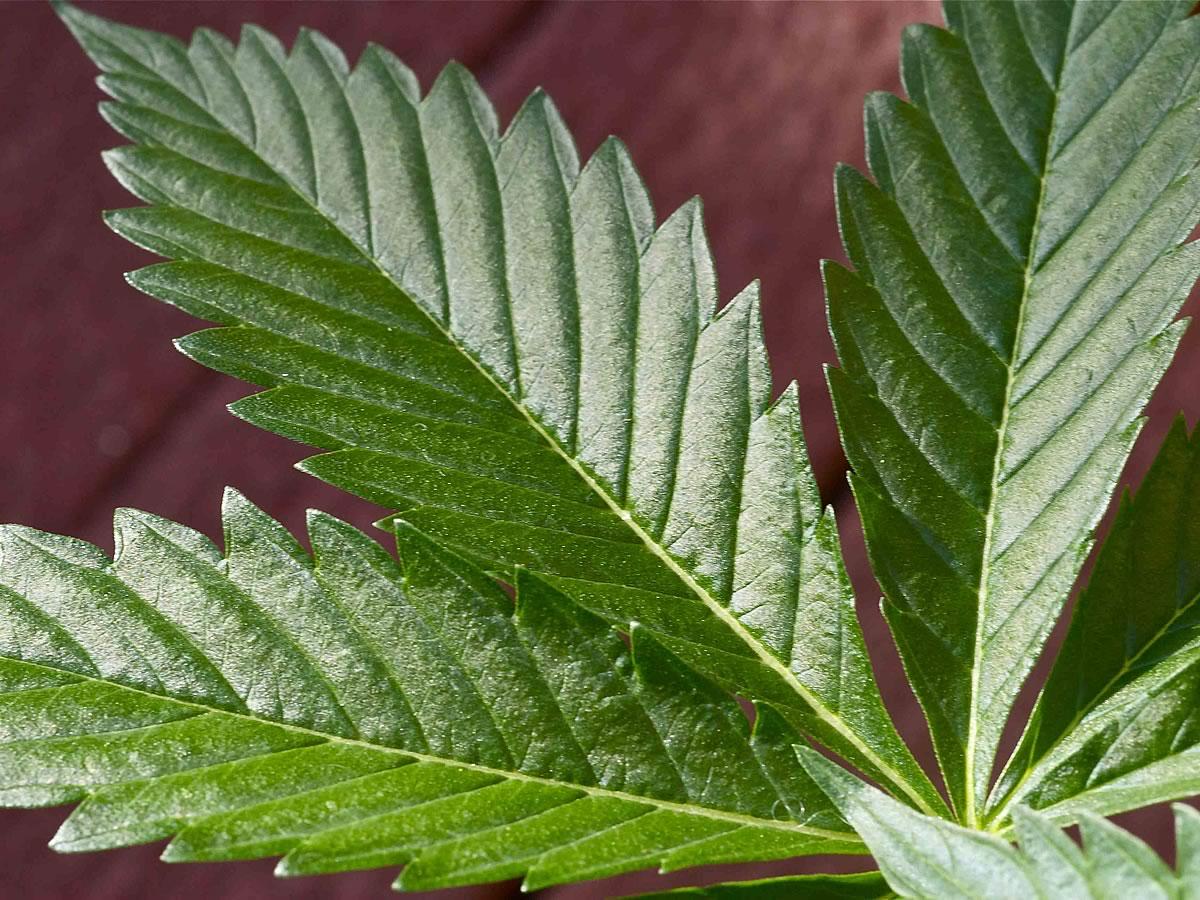 Canadian Marijuana Growers