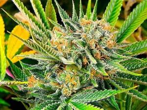 Subcool Marijuana