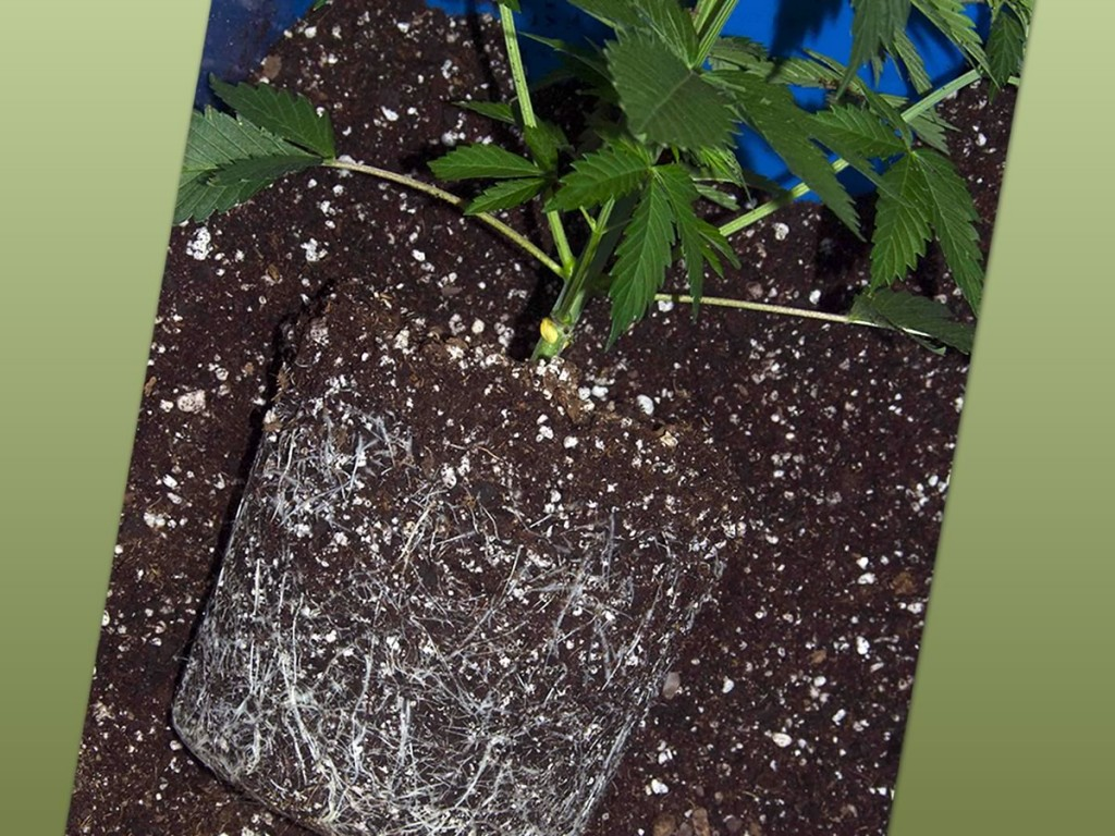 Transplanting Marijuana