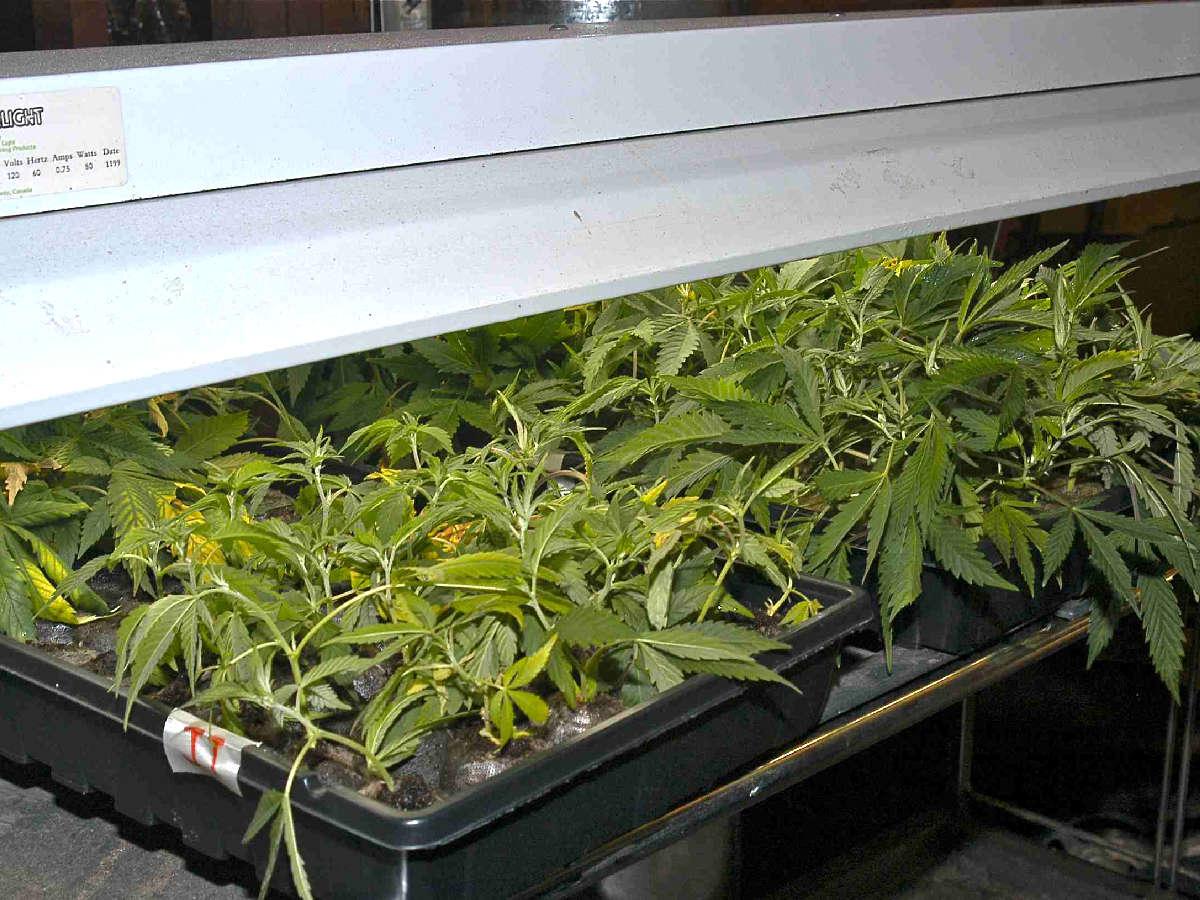 Marijuana Motherplants