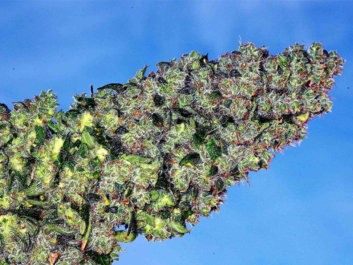 Medical Marijuana Use