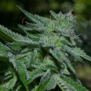 Marijuana Bigger Yields