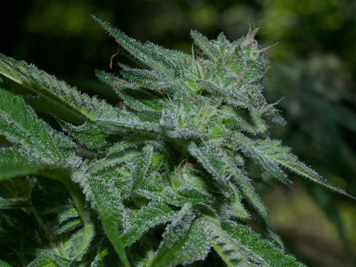 Outdoor Marijuana Growing Bigger Yields Fertilizer Secrets
