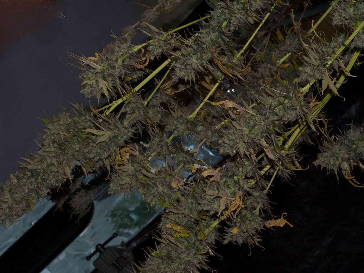 Marijuana Drying And Curing