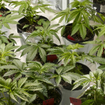 Insider Tips for Maximizing Marijuana Grow Phase