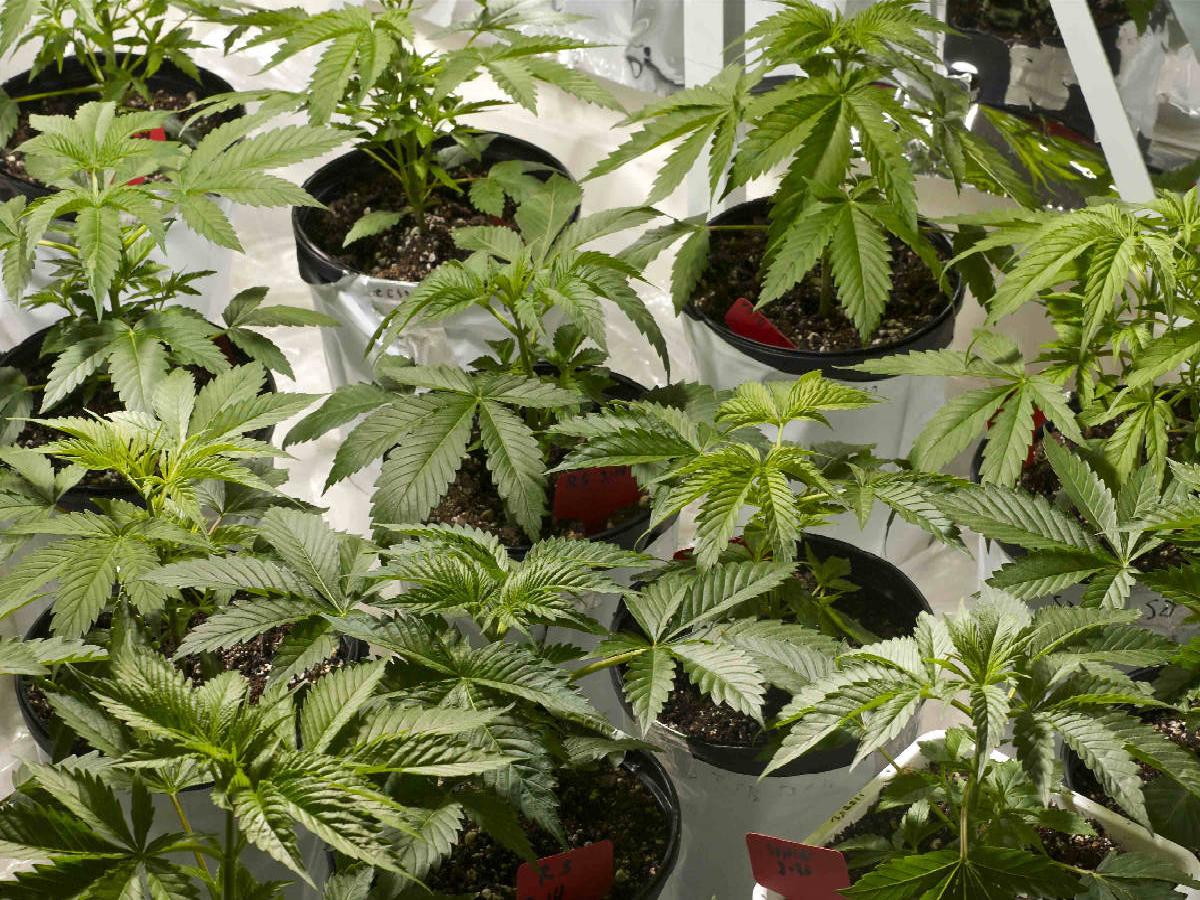 Marijuana Grow Phase