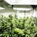 Marijuana Growing Occupational Hazards: Avoid Getting Hurt Growing Marijuana