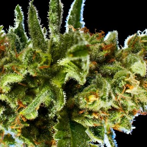 Marijuana carbohydrates boost growth