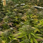 New California Medical Marijuana Law Harms Marijuana Growers