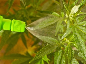 Marijuana foliar spray