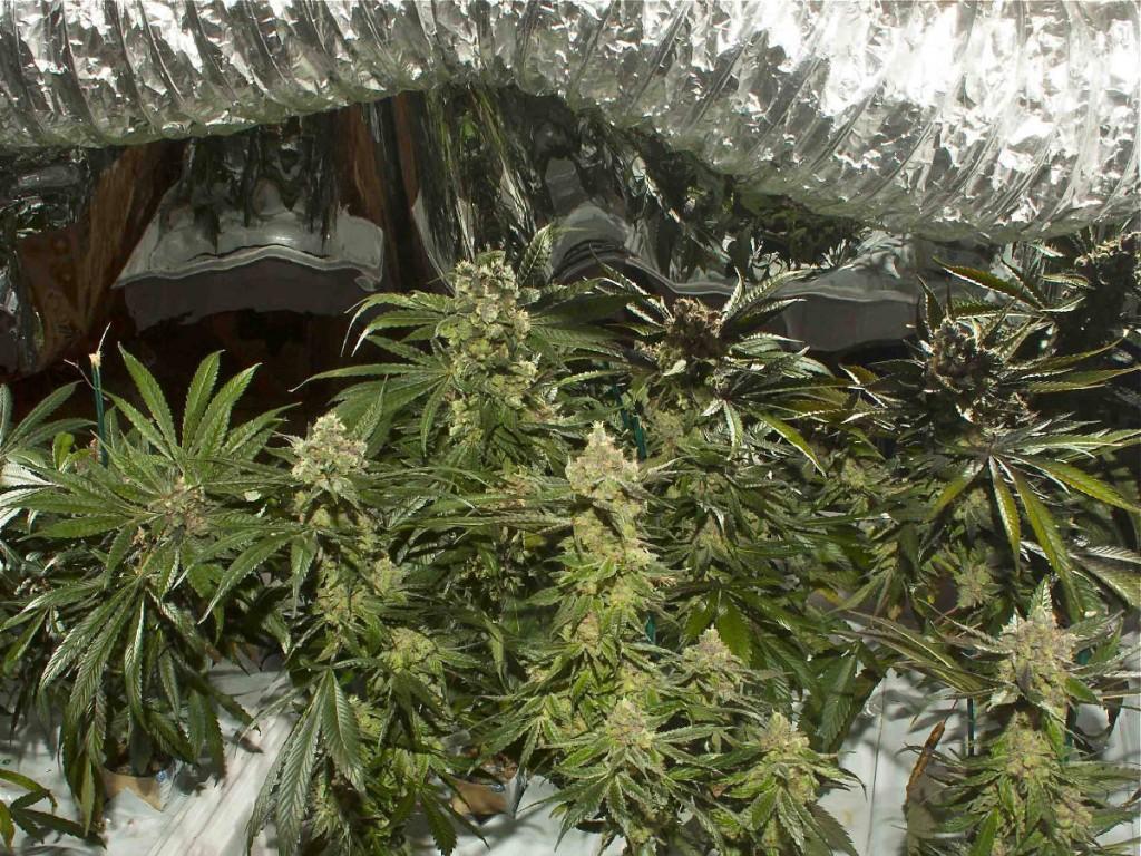 Marijuana Op